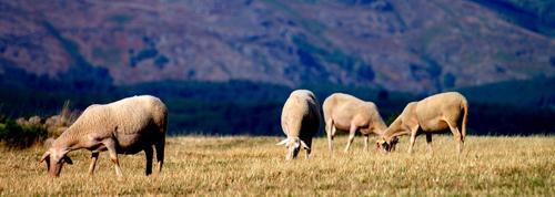 Moutons sur les causses - 12.jpg (500x178)
